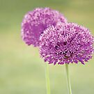 Alliums by Anne Staub