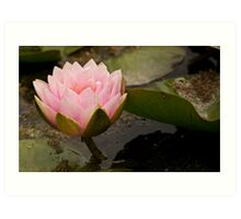 Pink Water Lily Bloom Rising Art Print