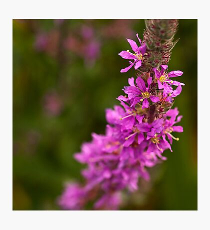 Pink Spears Photographic Print