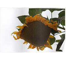 Harvesting A Sunflower Seed Head........ Poster