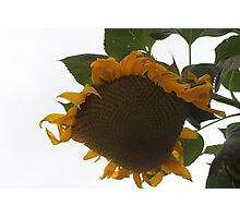 Harvesting A Sunflower Seed Head........ Photographic Print