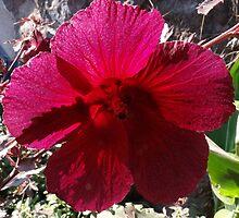 Elegant Rose of Sharon - extravagant colour by Bernhard Matejka
