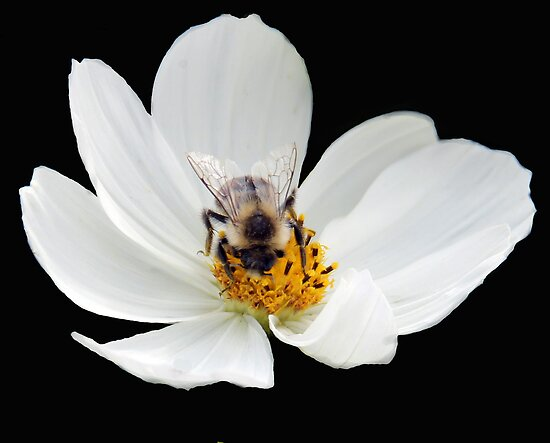 A Bee enjoying nector obtained from this beautiful flower. by vette
