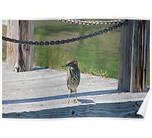 "Posing on the dock ""Green Night Heron"" Poster"