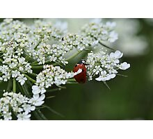 Lady bug on small flowers Photographic Print