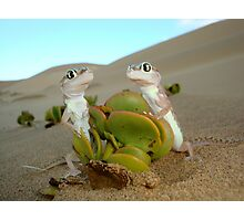 Spade-footed Geckoes - Namibia Photographic Print