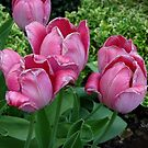 Withering Tulips by Rosemary Sobiera