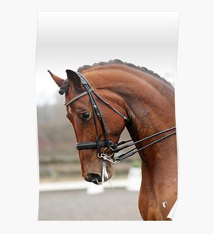 Grand Prix Dressage Stallion Poster