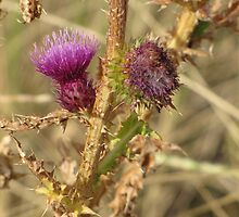 Thistles by Kathi Huff