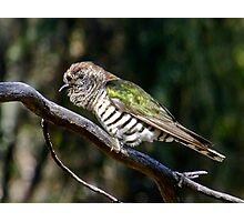 Shining Bronze-Cuckoo Photographic Print