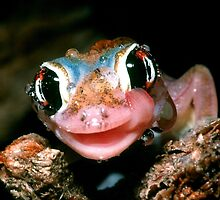 Spade-footed Gecko 'Fog Drinking' - Namibia by Austin Stevens