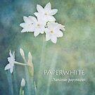 Paperwhites by Lynn Starner