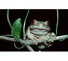 Natal Tree Frog - South Africa Photographic Print