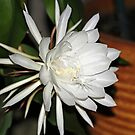 "A ""Cereus"" Bloom by Terri~Lynn Bealle"