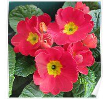 Ladies in Red - Scarlet Primroses Poster