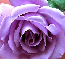 The Heart of a Blue Moon Rose  by kathrynsgallery
