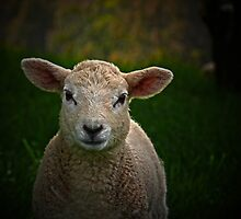 A Texel lamb by Josie Jackson