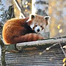 Red Panda by Dorothy Thomson