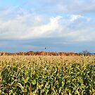 Corn Field Crows of Prince Edward Island by Nadine Staaf