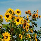 A whole bunch of sunflowers by Drew Walker