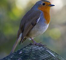 Autumn Robin Resting on Norfolk Fence by Geoimages