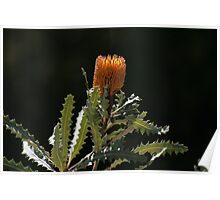 Glowing Banksia Poster