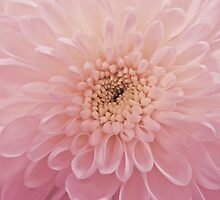 Chrysanthemum by shalisa