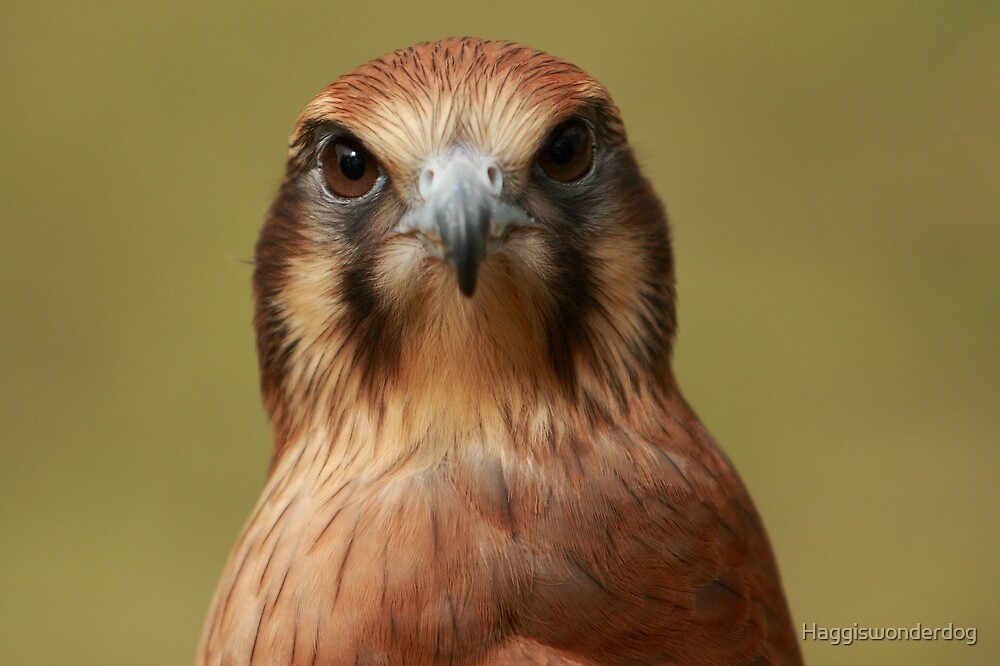 Here's lookin at you kid! Brown Falcon Stare by Georgina Steytler
