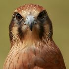 Here's lookin at you kid! Brown Falcon Stare by Haggiswonderdog