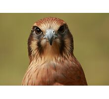 Here's lookin at you kid! Brown Falcon Stare Photographic Print