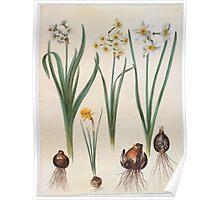 Johannes Simon Holtzbecher Narcissus tazetta Narcissus orientalis Corbularia bulbocodium Poster