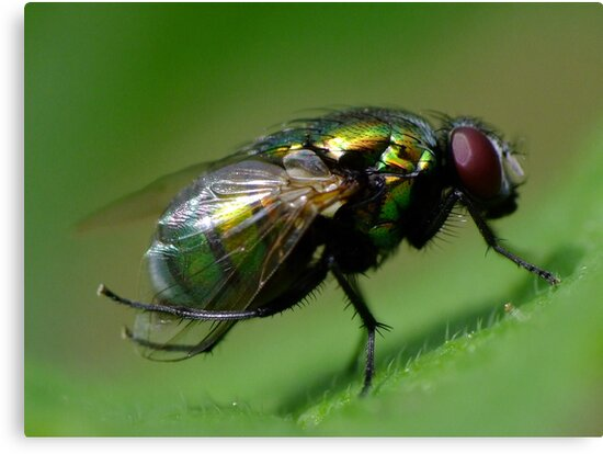 Bottle Blow Fly by Gabrielle  Lees
