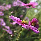 Pink Flower Cosmos by Kay  G Larsen