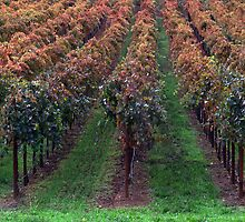 Fall Colors in Napa Valley, California by Brendon Perkins
