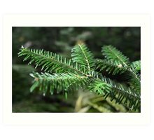 Coniferous Pine Tree Branch Art Print
