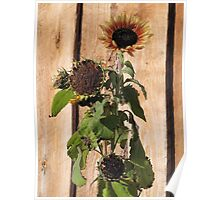 Frosted Sunflower Poster