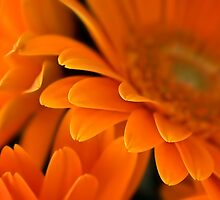 Sunny orange by Celeste Mookherjee