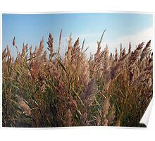 Reeds at the lake Poster
