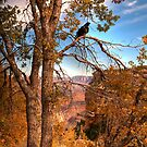 A Young Raven In Autumn At The Grand Canyon by K D Graves Photography
