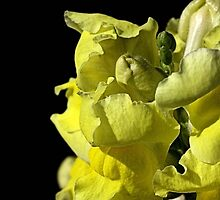 Snapdragon - Yellow by Joy Watson