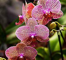 Orchids by richchop