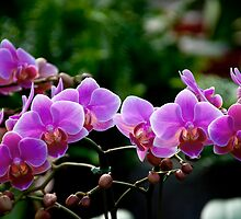 Pink Orchids by richchop