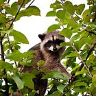 Raccoon  by fisherfreek