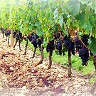 Vineyard by TallulahMoody