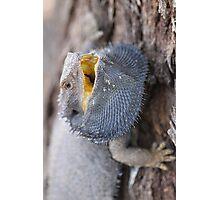 Eastern Bearded Dragon Photographic Print