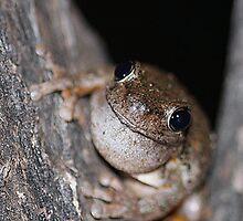 Perons Tree Frog by EnviroKey