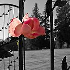 The Rose by Robert  Miner