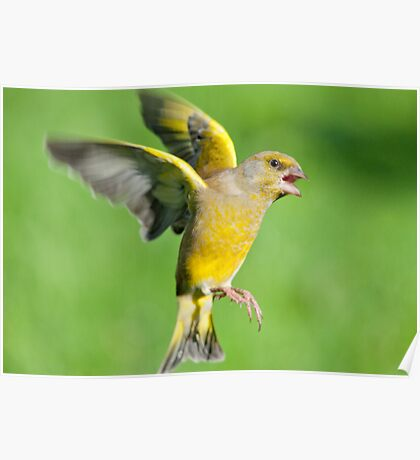 Greenfinch ~ In flight Poster