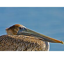 Brown Pelican Relaxing Photographic Print