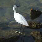 Little Egret by Susan Dailey